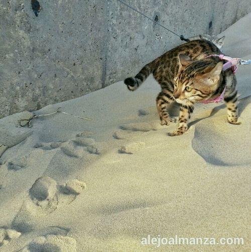 Leica at the beach. Cat Beach Kitten Bengal Cat Bengal Kitten