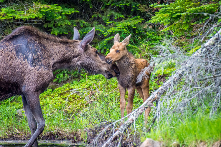 Moose cow and her calf sharing a tender moment at the edge of the lake. Algonquin Park, Ontario, Canada. Moose Calf Mother Animal Themes Animal Wildlife Animals In The Wild Cow Moose Forest Mammal Moose Nature Outdoors Young Adult Young Animal