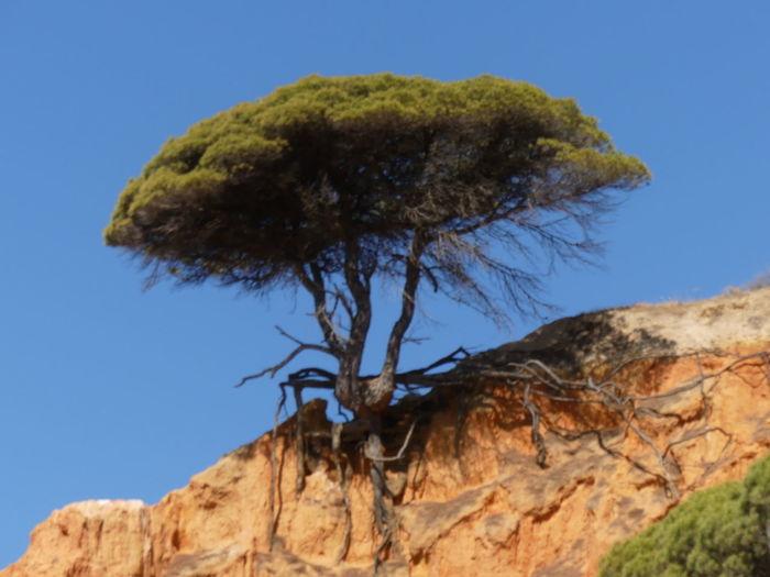 Pine Tree on