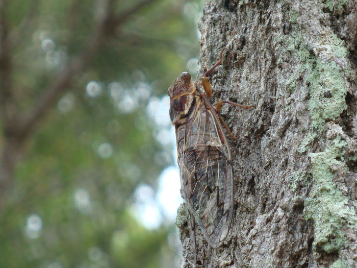 Animal Themes Animal Wildlife Animals In The Wild Beauty In Nature BIG Camouflage Animals Cicada Close-up Day Insect Insects  Nature No People One Animal Outdoors Textured  Tree Tree Trunk Wood - Material