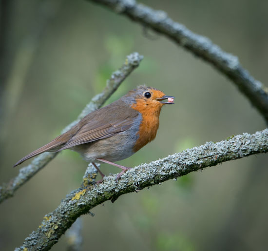 Robin perched