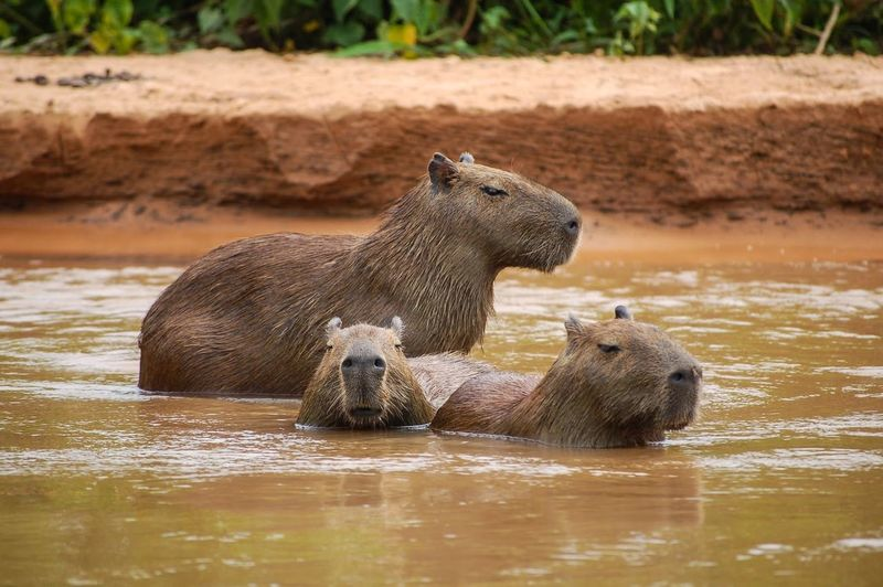 View of capybara in water