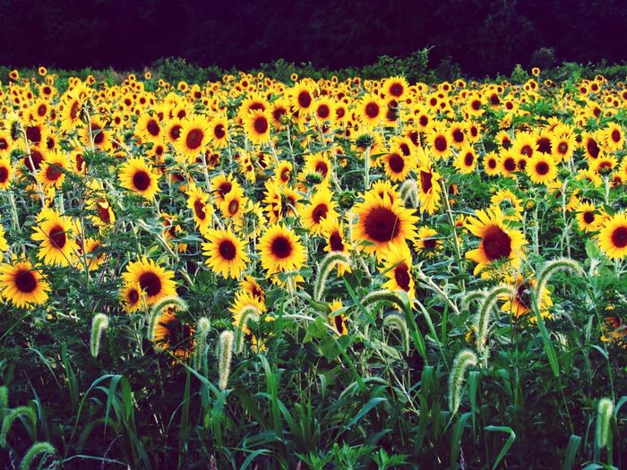 Flower Nature Beauty In Nature Growth Plant Field Fragility Outdoors Freshness Day Botany Flower Head Petal No People Abundance Sunflower Blooming Uncultivated Sunflowers Sunflower Field Countryside Country Indiana MidWest Home