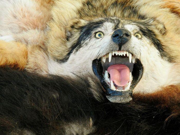 Close-up portrait of a ferocious wolf