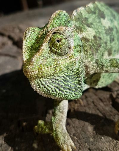 Bukalemun Animals In The Wild Reptile Animal Wildlife One Animal Lizard Close-up No People Green Color Animal Themes Iguana Chameleon Day Outdoors Nature Portrait