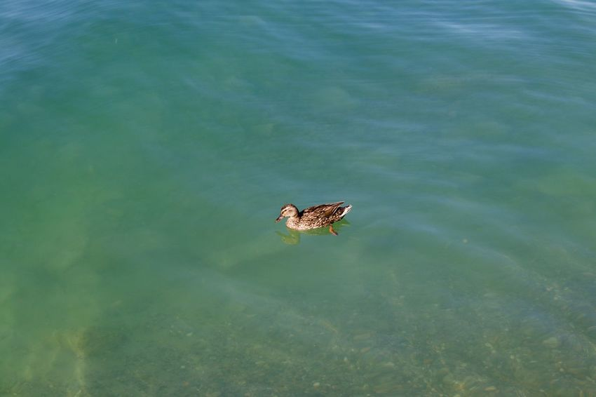 Lonely Duck Duck Friedrichshafen Am Bodensee Bodensee Lake Of Constance Lake Of Constance Germany Friedrichshafen Travel Photography Bodenseebilder EyeEm Best Shots Water Animal Themes Animal Animal Wildlife One Animal Animals In The Wild High Angle View Lake No People Reptile Nature Beauty In Nature Vertebrate Day Swimming Outdoors Tranquility Turquoise Colored Floating On Water