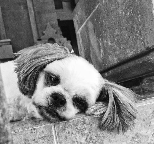 Feeling sleepy at her favorite spot Relaxing IPhoneography First Eyeem Photo Snapseed Dogs Pets Playing With The Animals Blackandwhite Black And White