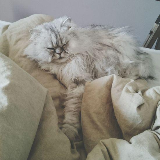Cat Persan Love