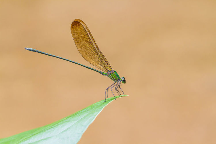 Animal Animal Themes Animal Wildlife Animal Wing Animals In The Wild Beauty In Nature Close-up Damselfly Day Dragonfly Focus On Foreground Green Color Invertebrate Nature One Animal Outdoors Plant