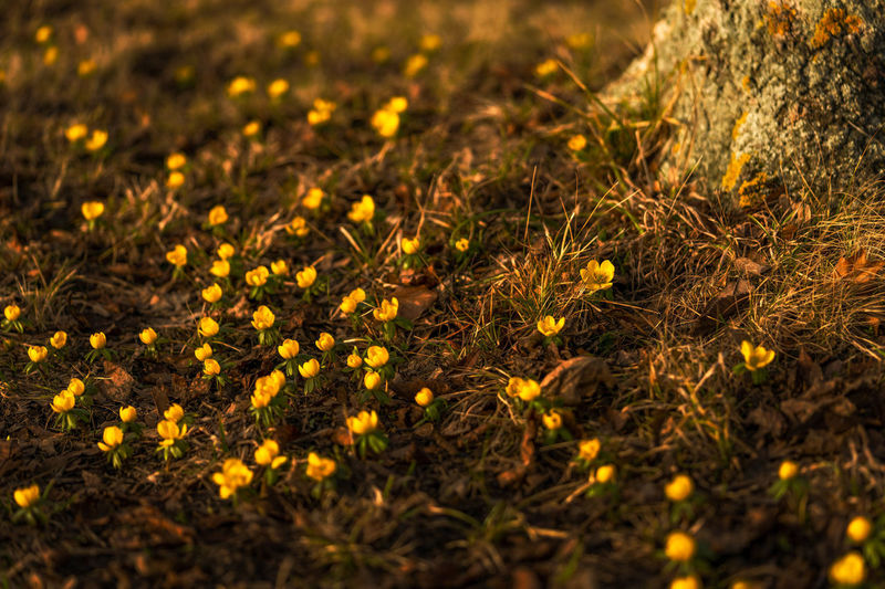 High angle view of yellow flowers on field