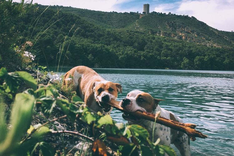 Dogs carrying stick in river against hill