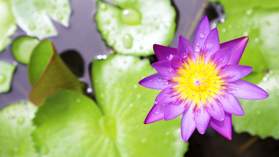 lotus Beauty In Nature Close-up Drop Flower Flower Head Flowering Plant Freshness Growth Leaf Nature No People Petal Plant Purple RainDrop Water Wet