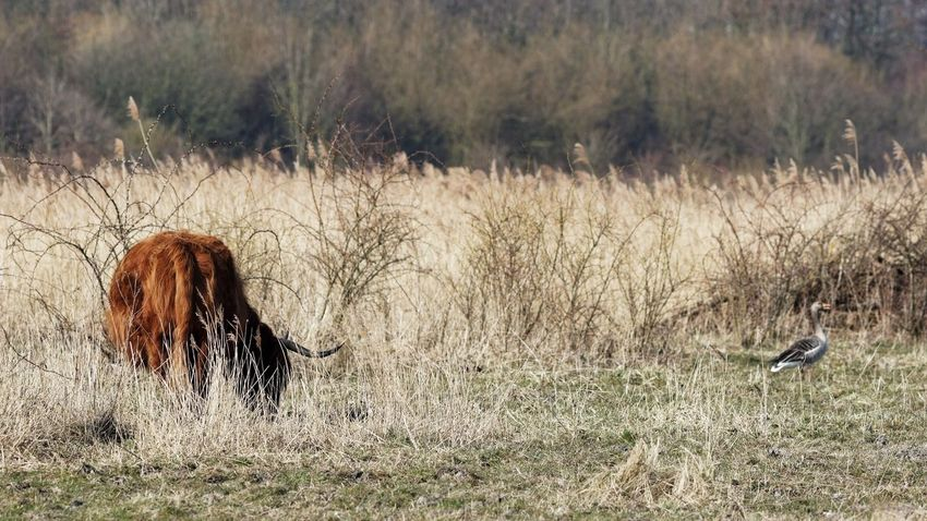 Highland Cattle or, actually Lowland with a Goose . Furthermore, no meaning...yawn... Landscape_photography