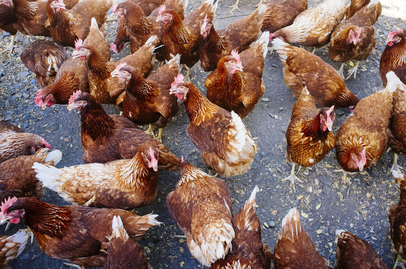 High Angle View Of Chickens On Road