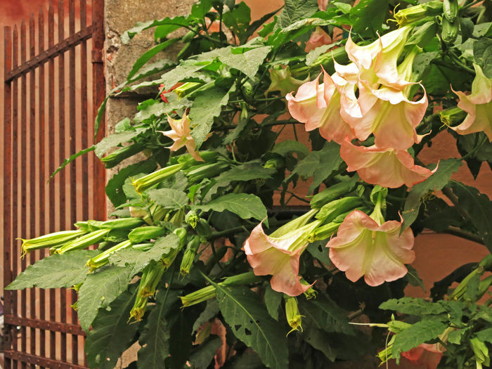 Bichromatic Blooming Blossom Day Flower Flowers Genoa Genoa, Italy, Europe, Liguria Green Green Color Growth Nature Nature Photography Nature_collection No People Outdoors Pink Pink And Green Pink And Green Colors Pink Color Pink Flower Rust Rusty Rusty Metal Vertical Lines