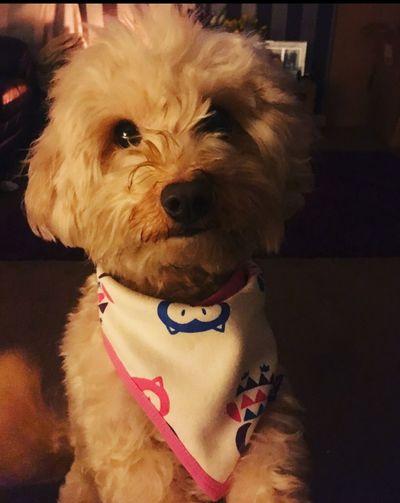 My darling Alfie Babyboy Baby Miss Family Jackadoodle Rip Doglover Dog