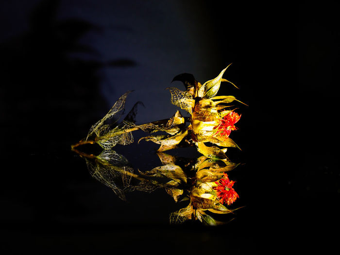 Close-up of wilted flower against black background