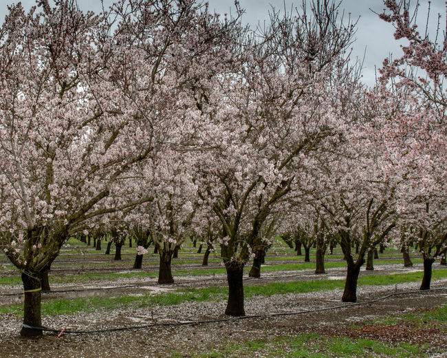Panoramic view of almond blossoms in orchard in the beginning of the spring in Winters, California, USA Winters California USA Almond Tree Orchard Tree Plant Flower Springtime Blossom Flowering Plant Beauty In Nature Nature Growth Day Fragility No People Outdoors Fruit Tree Freshness Blossoming  Blossoms  White Flower Symmetry Symmetrical