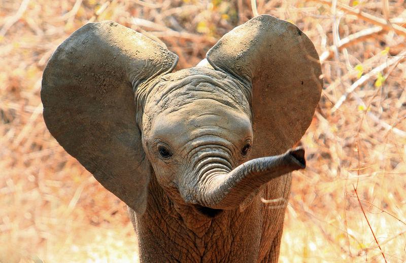 Close-up portrait of elephant calf