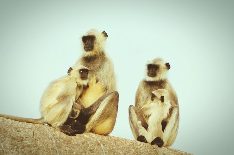 Low angle view of langurs against clear sky
