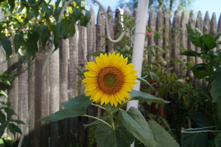 Sunflower Beautiful Nature Garden Summer