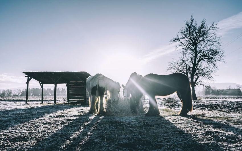 Icelandic horses eating hay on field against sky