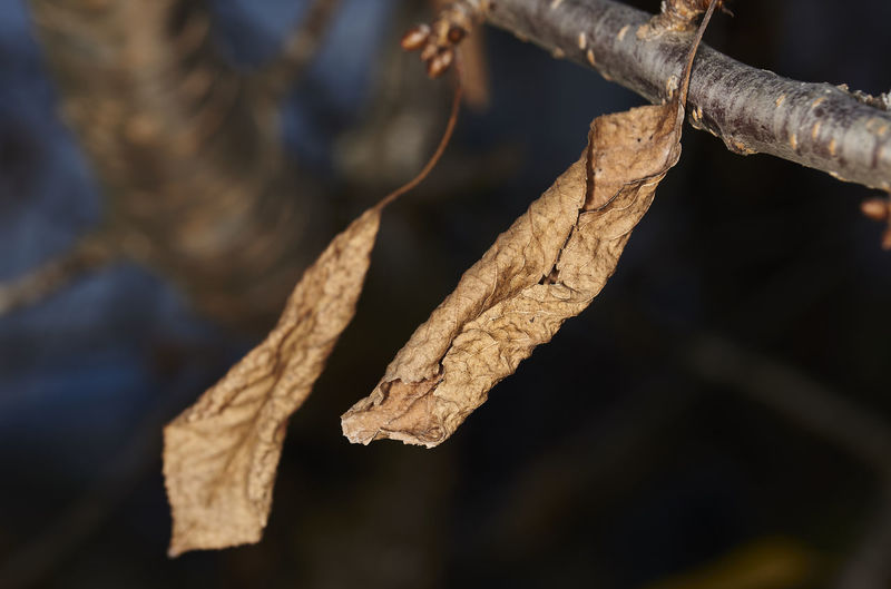 Close-up of dried leaves against blurred background