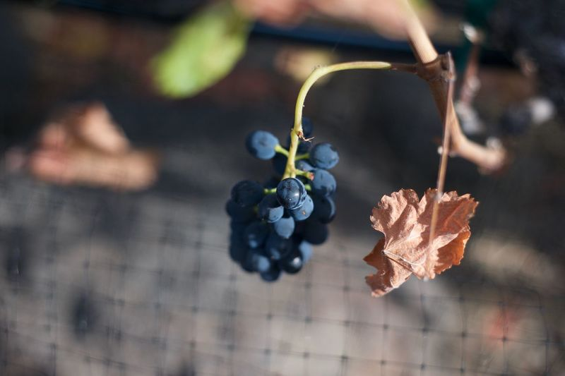 Close-up of bunch of grapes at vineyard