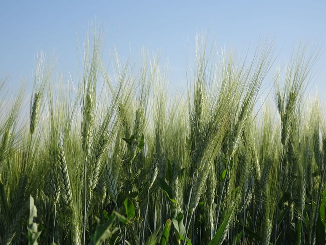 Agriculture Barley Beauty In Nature Cereal Plant Close-up Crop  Day Farm Field Green Color Growth Land Landscape Nature No People Outdoors Plant Rural Scene Scenics - Nature Sky Wheat