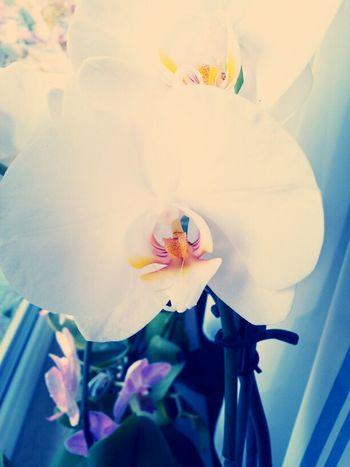 Flower Orchidee.
