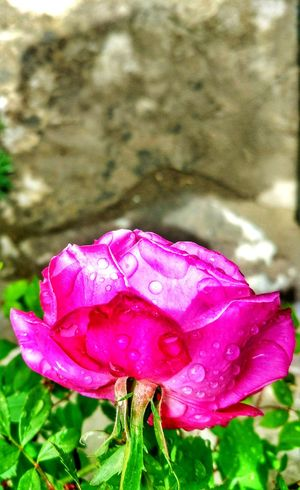 Not all roses are red 🥀 Flower Nature Beauty In Nature Freshness Outdoors Water Petal Flower Head Fragility Nature Photography Hills And Valleys Focus On Macro Beauty Dew Drops Close-up Wet Blooming
