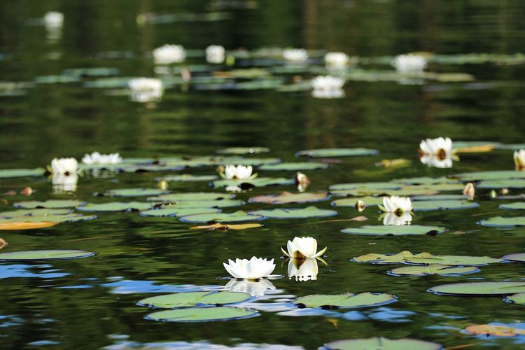 Lake Water Flower Flowering Plant Beauty In Nature Plant Water Lily Floating Floating On Water Leaf Nature Freshness Plant Part No People Fragility Vulnerability  Petal Day Lotus Water Lily Flower Head