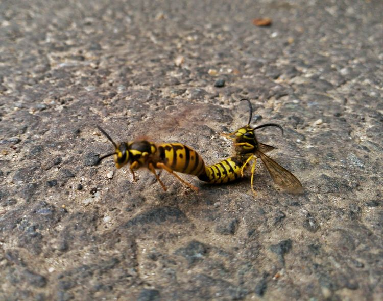 Wasps having fun :)) Wasp Wasp Macro Insect Motion Blur Motion Capture Motion Photography Outdoors Close-up MotionShot EyeEm Gallery EyeEm Best Shots Sibiu Romania EyeEmBestPics Capturing Motion