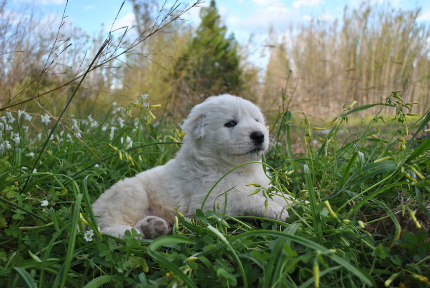 Pet Portraits Dog Grass One Animal Pets Mammal Animal Outdoors Young Animal Puppy Loking At The Sky Litle Dog Relaxing Time Nature Photography Pastorefonnese White Dog Nature Day Animal Themes Domestic Animals No People Ear Close-up Sky Lying Down