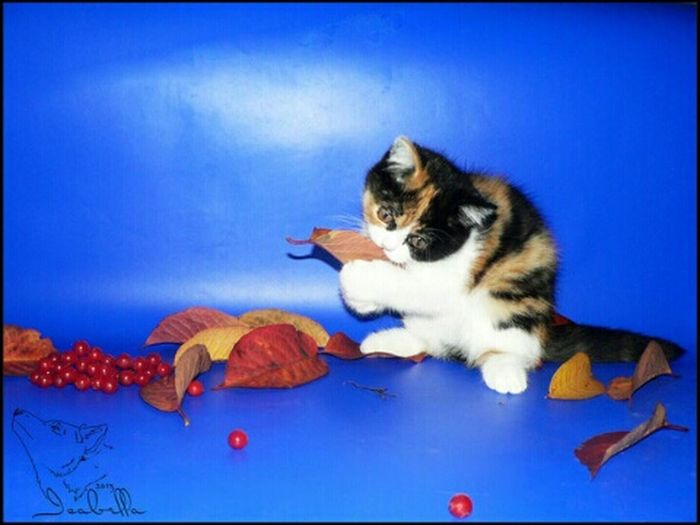 кошка Cat Аллегра черепаха черепаховая трехцветная котёнок