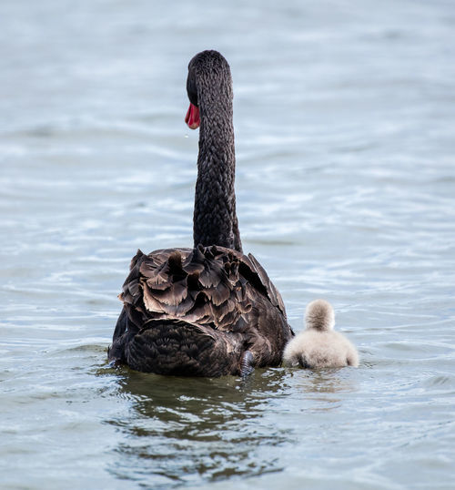 Rear View Of Black Swan And Cygnet Swimming In Lake