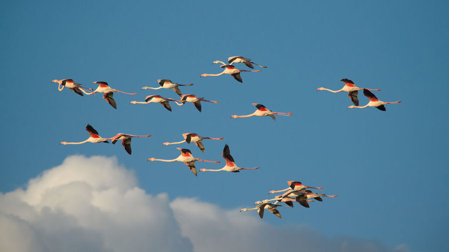 flamingos in flight Animal Themes Animals In The Wild Beauty In Nature Bird Blue Clear Sky Day Flamingos Flamingos In Flight Flying Large Group Of Animals Low Angle View Mid-air Motion Nature No People Outdoors Sky Spread Wings Be. Ready.