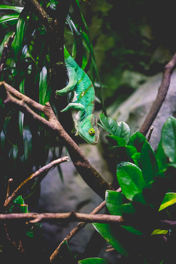 Matching my surroundings Green Hiding In Plain Sight Open Concept Zoo Reptile Singapore Zoo Zoo Chameleon Green Background Matching Colors