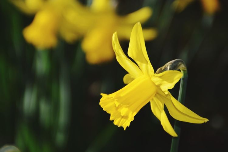 Yellow Flower Close-up Beauty In Nature Petal Flower Head Fragility Plant Nature Growth Springtime Pollen Freshness Narcissus Narcissus Flowers Narcissus 🌼 Beauty In Nature Outdoors Spring Flowers Spring Spring Colours