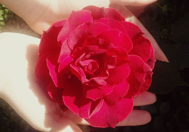 Flower Petal Freshness Fragility Close-up Beauty In Nature Rose - Flower Nature Springtime Single Flower Pink Vibrant Color Blossom Pink Color Softness Growth Plant Baghdad Baghdad , Lraq Sunny Outdoors Day Sunlight Red Single Flower