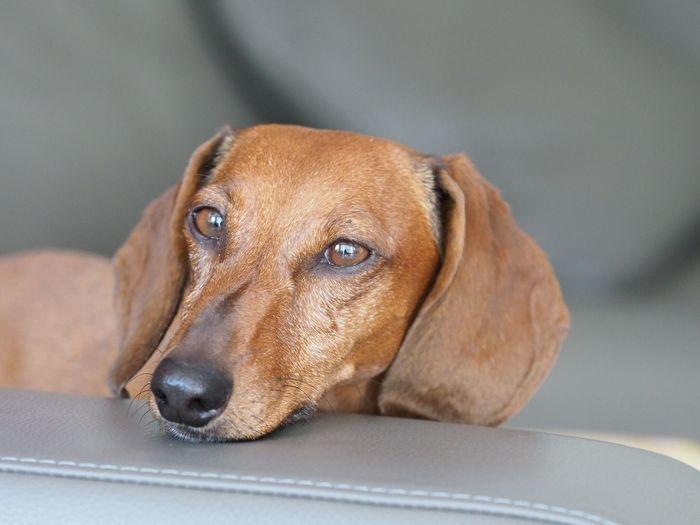 Dachshound EyeEm Selects One Animal Canine Dog Animal Themes Pets Domestic Animals Animal No People Looking Portrait
