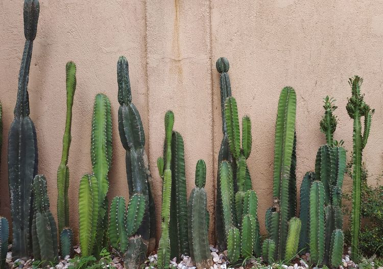 Close-up of cactus plants against wall