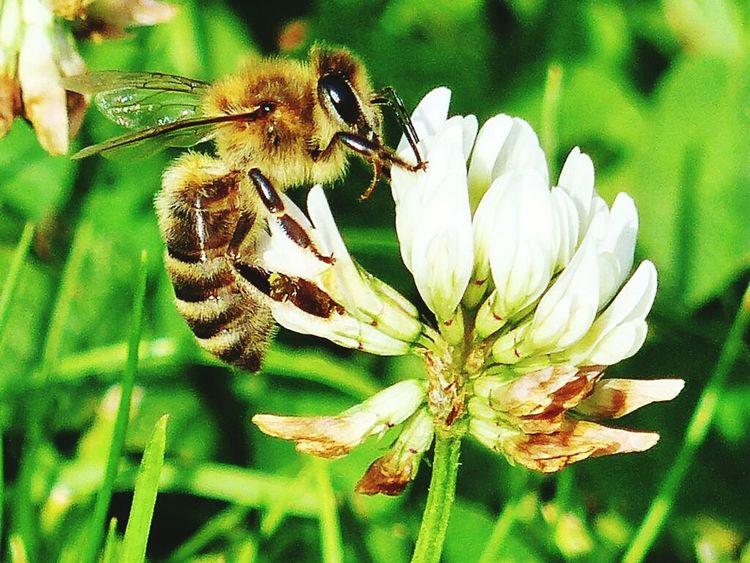 Biene an der Kleeblüte