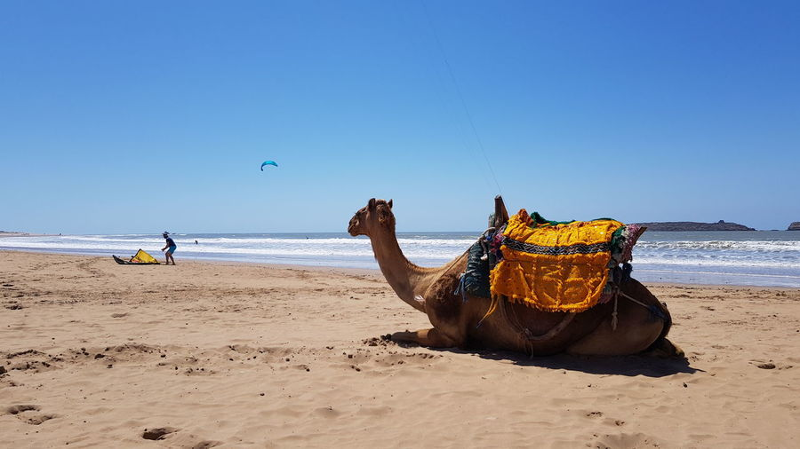 Camel relaxing at beach against clear sky