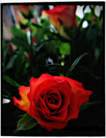 Happy Valentine's Day Flower Rose - Flower Red Petal Flower Head Fragility Nature Plant Beauty In Nature No People Blossom Rose Petals