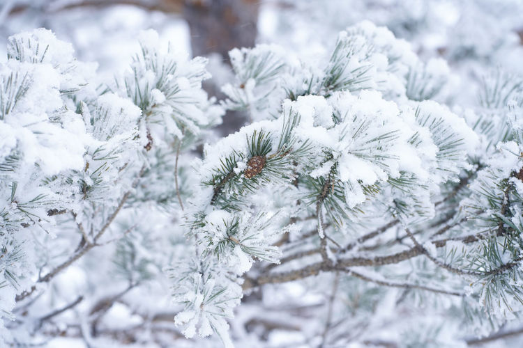Close-up of frozen pine tree during winter