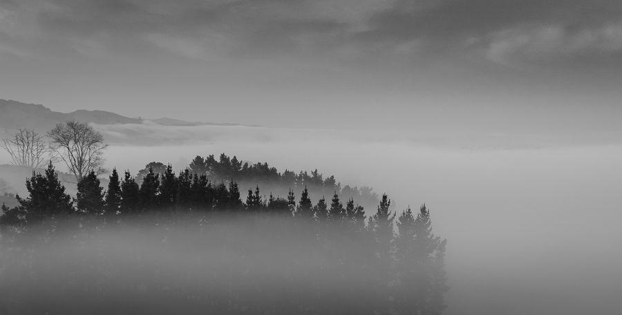#blackandwhite #countryside #fog #foggy #foggymorning Atmospheric Mood Pine Tree Pine Woodland Tree Area