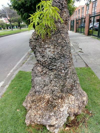 Coty très. Tree