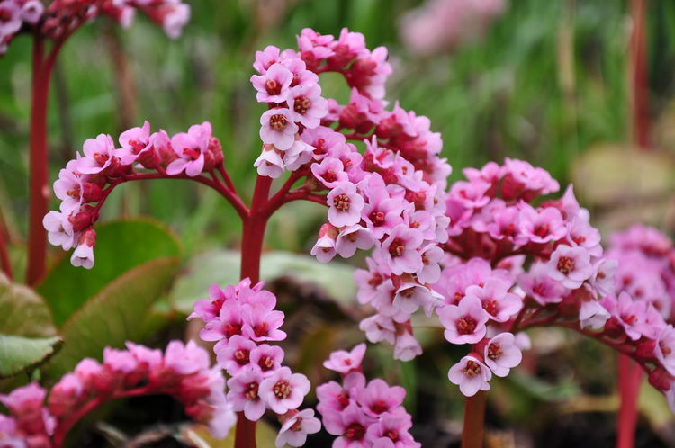 Bergenia Flowers Bergenia Hybride Blooming Close-up Elephant's Ears Elephant-eared Saxifrage Flower Flower Head Focus On Foreground Freshness Nature Outdoors Pink Color Red Bergenia Springtime