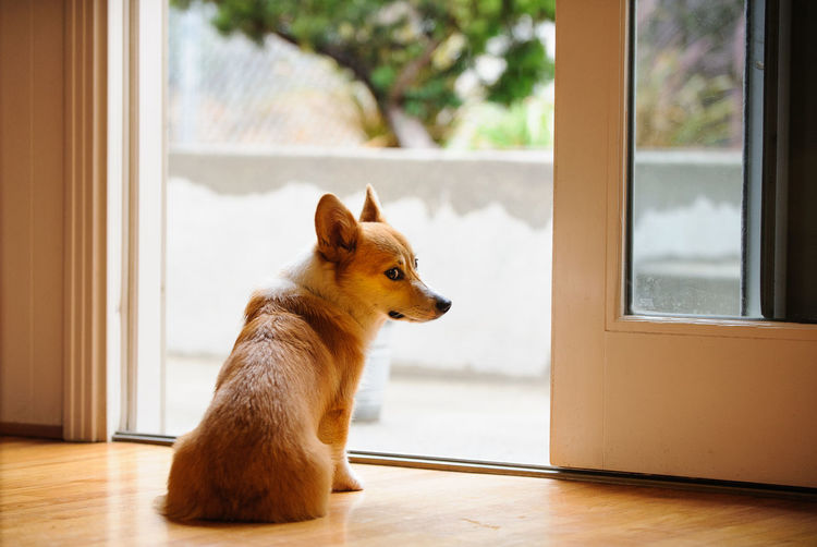 Rear View Of Pembroke Welsh Corgi Sitting At Doorway